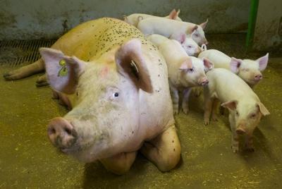 GRISEBILDE. Men disse er ikke identiske med de små griser i denne historien. Foto: NASSE NØFF